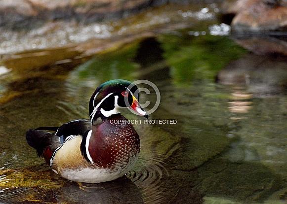 Wood Duck Profile