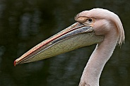 Eastern White Pelican Close Up Side Profile