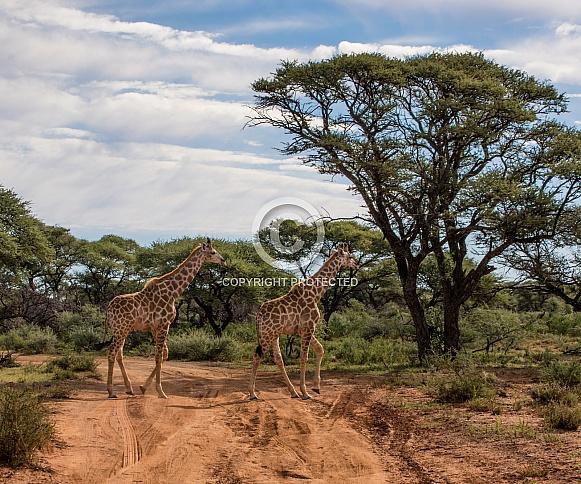 Giraffes Crossing Road