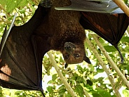 Malay Flying Fox