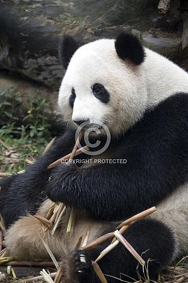 Giant Panda - Chengdu - China.