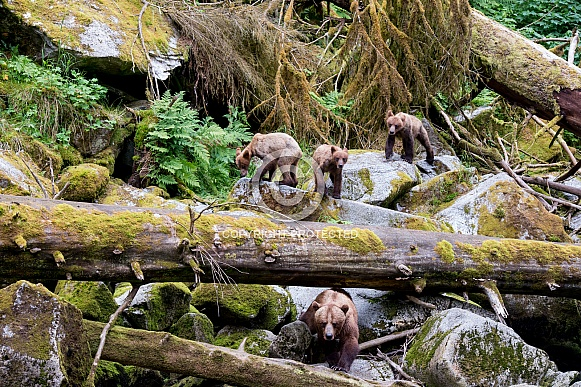 Grizzly bear with triplet cubs