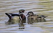 Female and Male Wood Duck Pair