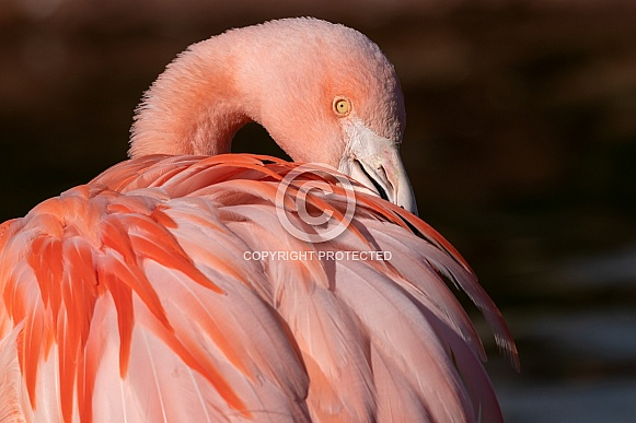 Chilean Flamingo Preening Feathers
