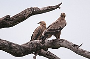Steppe Eagles