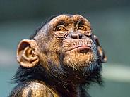 Bonobo Chimp