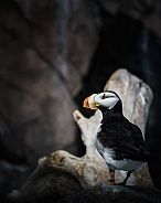 Puffin in soft light