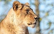 Asiatic Lioness Side Profile Close Up