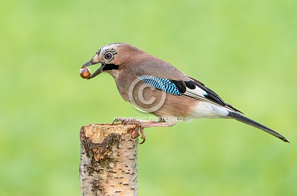 A Jay with an Acorn