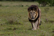 Male lion in Addo Elephant National Park