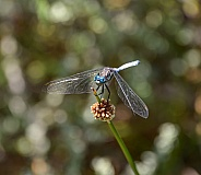 Julia Skimmer Dragonfly