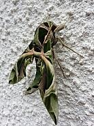 Oleander Hawkmoth