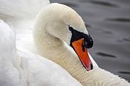 Male Mute Swan - Cygnus olor