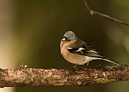 Common Chaffinch (male)