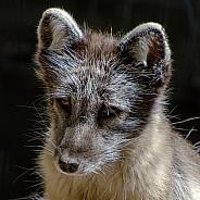 Artic Fox Portrait (Summer Coat)