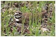 Nesting Kildeer