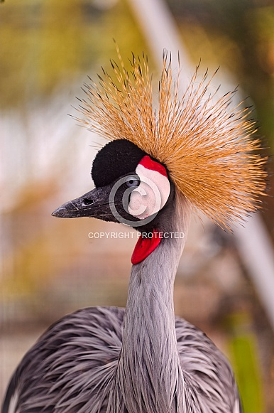 Great Crowned Crane