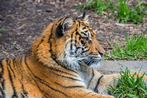 Sumatran Tiger - 1 Year Old Cub - Female