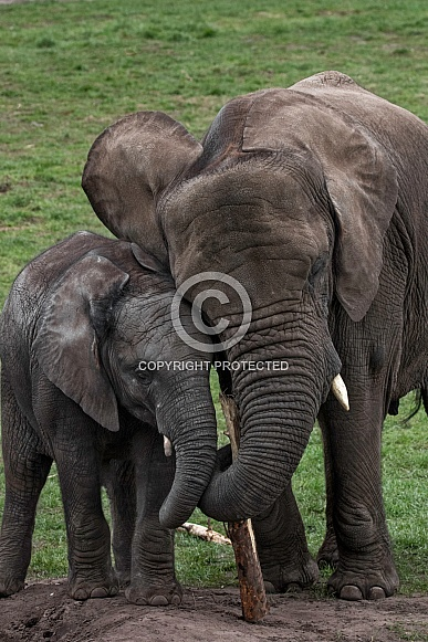 Mother And Calf Trunks Entwined