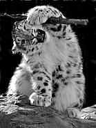 Snow Leopard with stick
