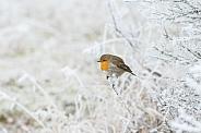 The European robin (Erithacus rubecula