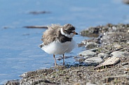 Semipalmated Plover Preening
