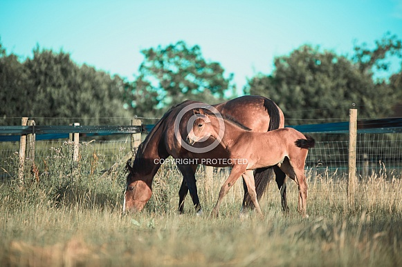 Bay Mare and filly Foal