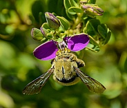 Carpenter Bee on pink flower