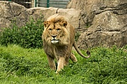 Lion Walking Forward
