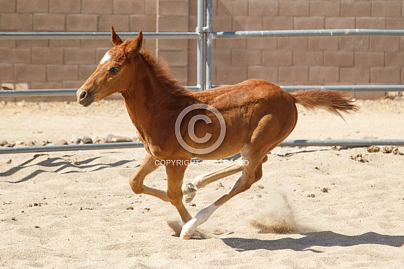 Young horse enjoying a run in the sand