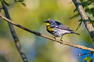 Yellow-rumped Warbler, Audubon's Race
