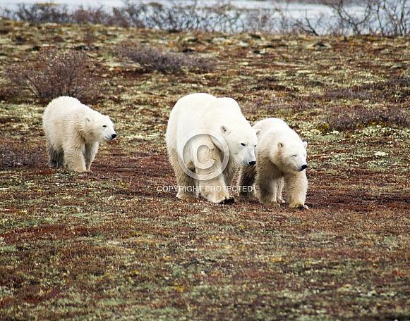 Wild Polar Bear with cubs
