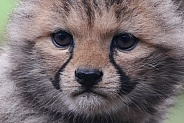 Cheetah cub close up