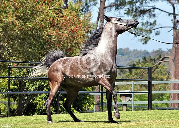 Arabian Colt Stepping