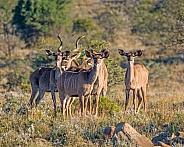Kudu family group