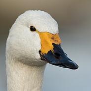 Bewick's Swan Portrait