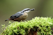 The Eurasian nuthatch