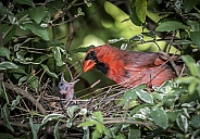 Cardinal Male with Chick