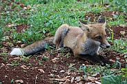 Young Fox Sitting In Grass