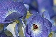 Transverse ladybird on hydrangea