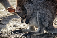 Wallaby mother is looking in her pouch.