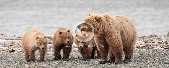 Wild Brown Bear with three cubs