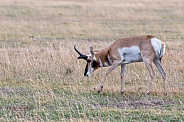 Pronghorn Male