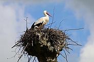 Storks (Ciconia ciconia)
