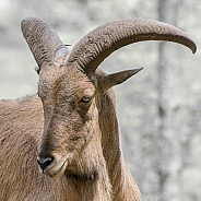 Barbary Sheep Portrait