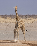 Giraffe mother and calf