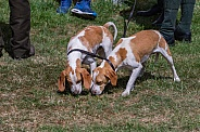 Brace of Beagles