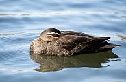 Pacific black duck (wild).