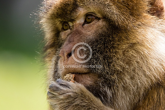 Barbary Macaque close-up