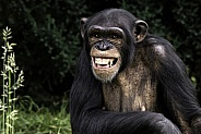 Chimpanzee Showing Teeth